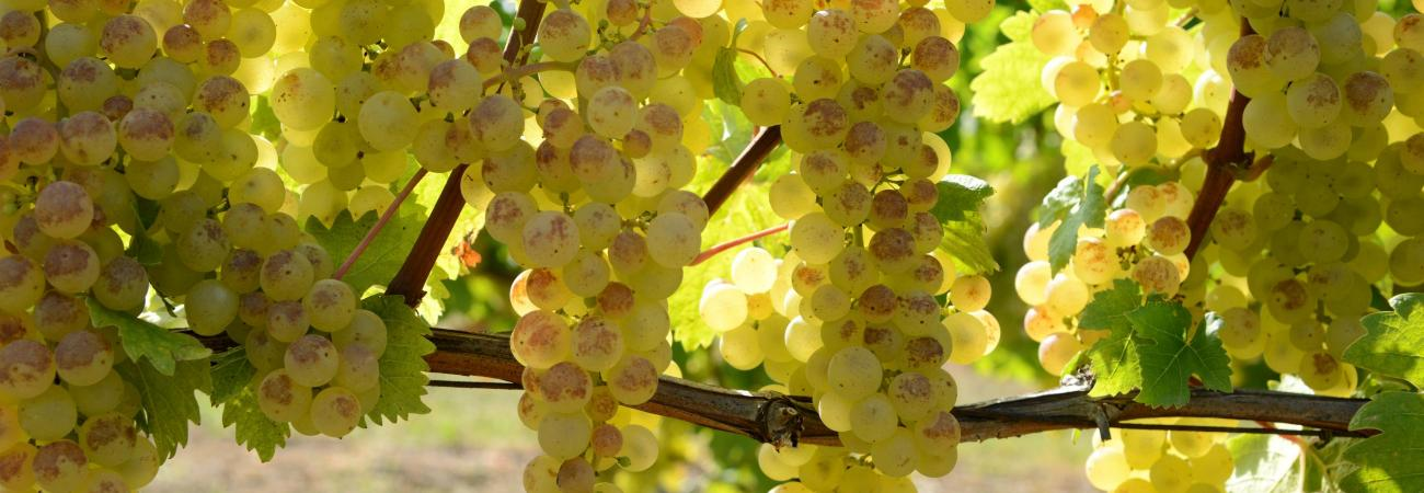 CHASSELAS grape