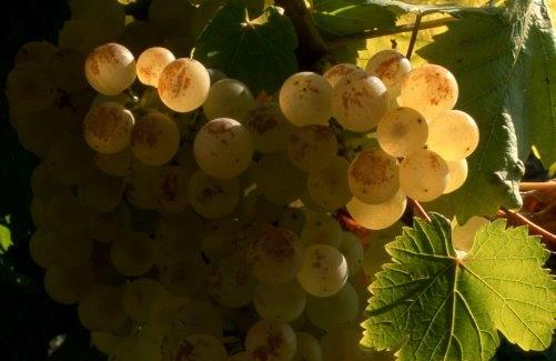 grappe chasselas